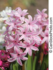 Hyacinths. - Pink hyacinths blooming in the early spring.