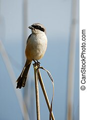 Great Grey Shrike. / The bird sits on blade small stalks on...