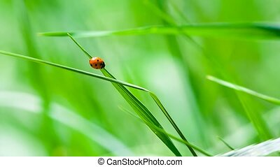 Ladybird sitting on the fresh grass - Small red spotted...