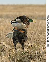 Duck Hunting Dog - A duck hunting dog retrieving a duck