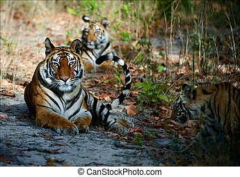 Bengal Tigers - India Three Bengal Tigers on a wood glade