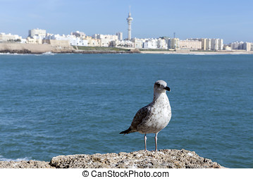A gull watching in Paseo Campo del Sur (Cadiz Cathedral called Old Cadiz Cathedral or Church of Santa Cruz). Cadiz. Andalusia, Spain