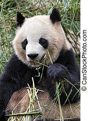 Adult Giant Panda eating bamboo, Chengdu China - Adult Giant...