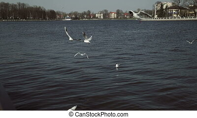 A flock of gulls on the city quay of the lake catches pieces...