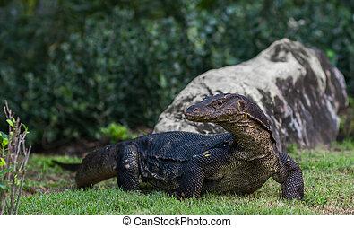 Varanus monitor lizard at Lumpini park, Bangkok, Thailand -...