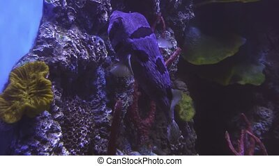 Tetraodon in saltwater aquarium stock footage video -...