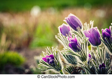purple flowers in a sunny day in early spring