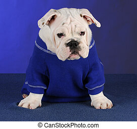bulldog puppy on blue background - english bulldog puppy...