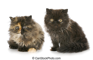 two persian kittens - two purebred persian kittens with...
