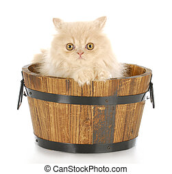 kitten bath time - cream persian kitten sitting in wood wash...