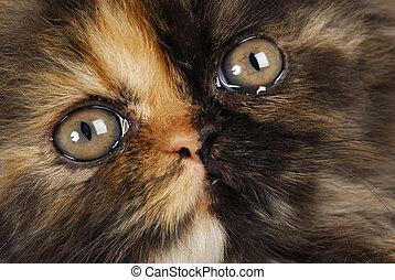 persian kitten - tortoise shell persian kitten face macro