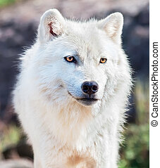 Young Arctic Wolf Close-Up - This is a close-up of a young...