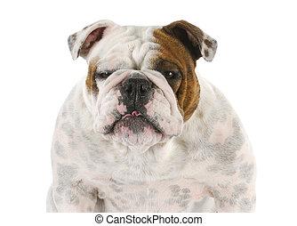 english bulldog - funny looking english bulldog portrait on...