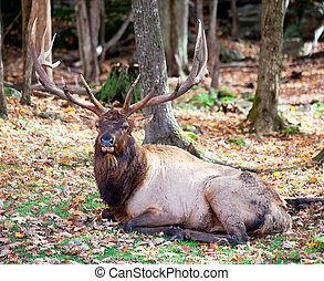 Elk Resting on a Fall Day - An Elk is resting on a fall day