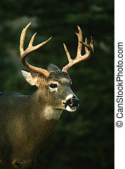 Whitetail Buck - a whitetail buck close up