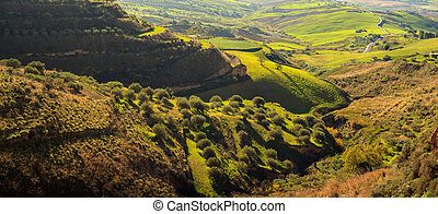 View of sicilian countryside - View of olive grove in the...