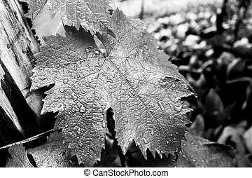 A grape leaf with drops of rain