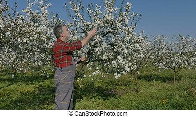 Farmer examine cherry trees