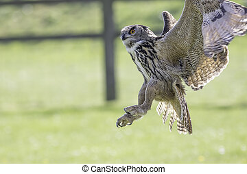 Owl distracted from catching prey - European eagle owl...