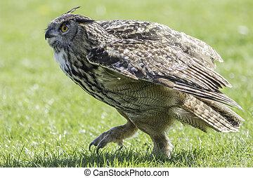 Eagle Owl bird of prey walking on the ground - European or...