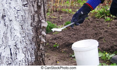 Gardener Whitewash Tree Trunk with Chalk in Garden, Tree Care in Spring