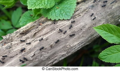 ants walking on the branch in the forest, closeup, top view...