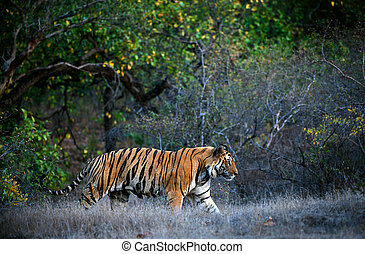 Bengal tiger - A huge male tiger walking in the jungles of...