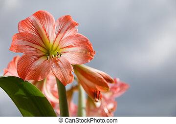 Amarilis flowers against sky background - Amaryllis...