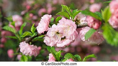 Soft pink Japanese cherry-tree blossom. Sakura. Cherry...