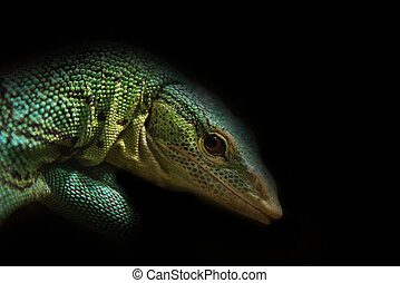 closo up on green lizard on black background