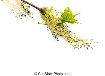 Flowering spring twigs of maple tree with young leaves in...
