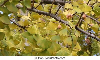 Ginkgo tree in autumn - Autumn, leaves and fruit of the...