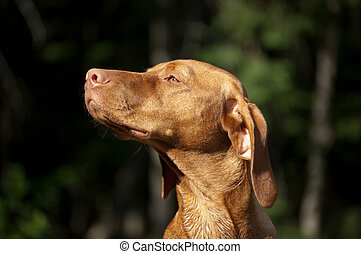Sunlit Hungarian Vizsla Dog - The head of a Hungarian Vizsla...