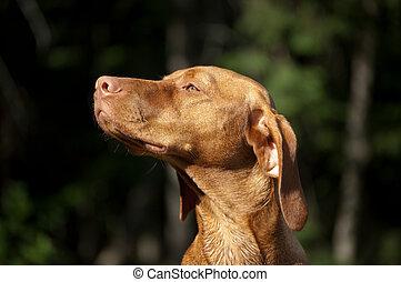 Sunlit Hungarian Vizsla Dog - The head of a Hungarian Vizsla...