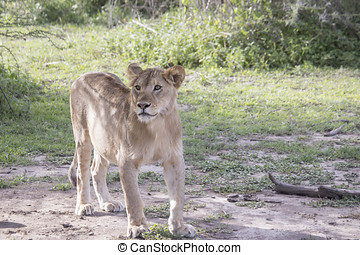 Young male lion, Serengeti, Tanzania