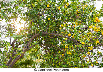 Ripe lemons hanging on a tree in Greece with sun rays...