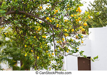 Ripe lemons hanging on a tree in Greece with sun rays shining through the leaves