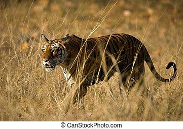 ROYAL BENGAL TIGER - Alert wild Bengal tiger walking on...