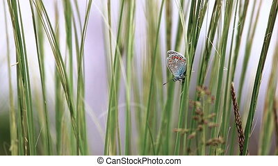 Beautiful butterfly (Common Blue,Polyommatus icarus) on the grass