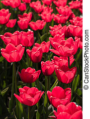Backlit red tulips