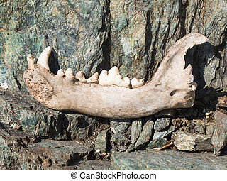 Dog's lower jaw bone with some teeth on rocks - Dog's lower...