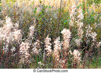 Field with fireweed flowers. - Field with fireweed flowers,...