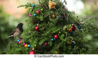 bird on Christmas tree - a dark-eyed junco finds food on a...