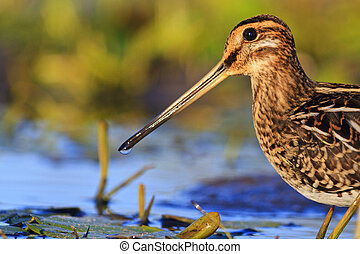 Portrait hunting snipe on a background of water,woodcock