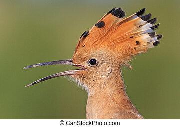 hoopoe open beak on the green background,exclusive bird