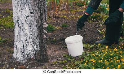 Gardener Whitewash Tree Trunk with Chalk in Garden, Tree Care in Spring