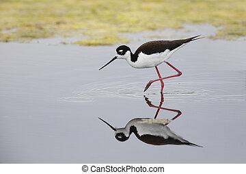 Black-necked Stilt foraging in a California pond -...