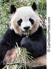 Adult Giant Panda eating bamboo, Chengdu China - Adult Giant...