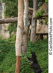 leopard and black panther playing a rope on wood