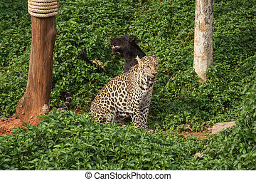 leopard and black panther resting